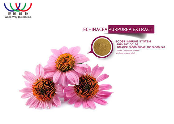 China Anti - extrato da planta do Echinacea do vírus, extrato puro da raiz de Purpurea do Echinacea fornecedor